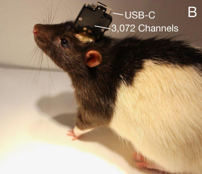 neuralink 2 rat