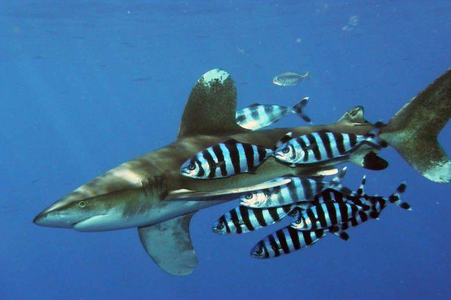 Carcharhinus longimanus shark zralok