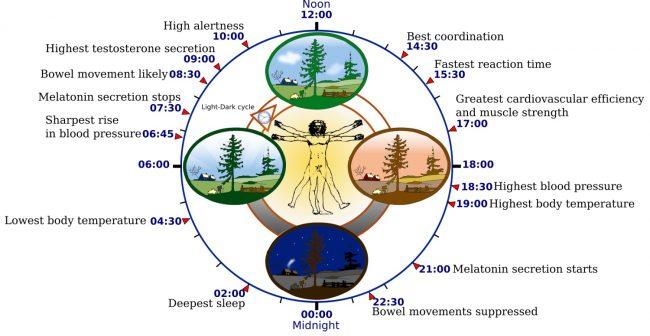 cirkadianni rytmus graf vlivy