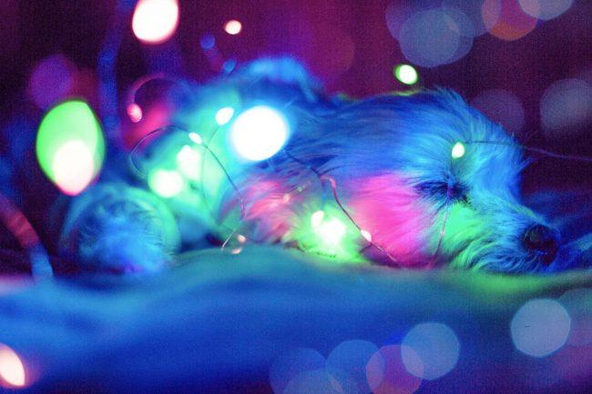 pes modre svetlo